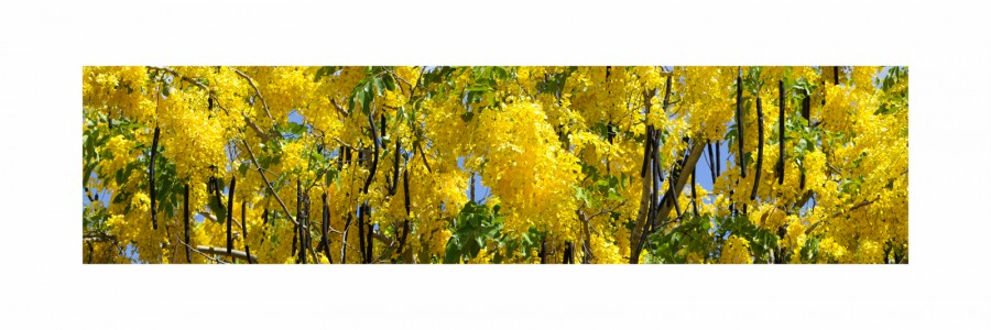 Golden Shower Tree 30