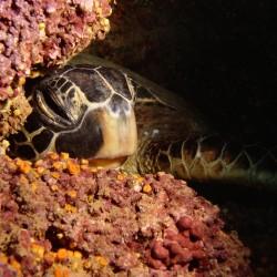 """Green Sea Turtle – """"Honu"""""""