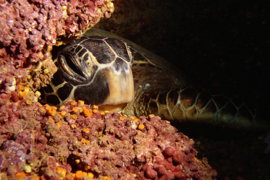 "Green Sea Turtle – ""Honu"""